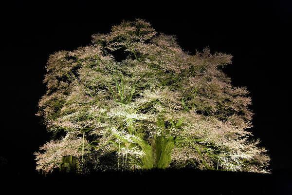 Okayama Prefecture Photograph - Cherry Blossoms At Night by Noriyuki Araki