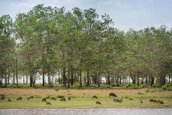 Photograph - Chiguiro Capybara Guanapalo Casanare Colombia by Adam Rainoff