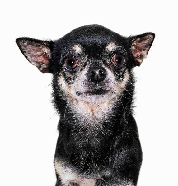 Lap Dog Photograph - Chihuahua, Close-up by Gandee Vasan