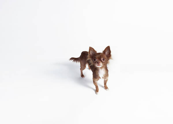 Chihuahua Photograph - Chihuahua Looking Up by Stilllifephotographer