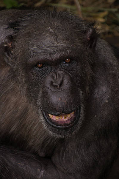Photograph - Chimpanzee by Kuni Photography