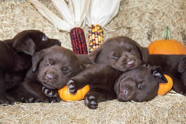 Wall Art - Photograph - Chocolate Labrador Retriever Puppies by Zandria Muench Beraldo
