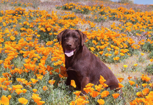 Wall Art - Photograph - Chocolate Labrador Retriever Sitting by Zandria Muench Beraldo
