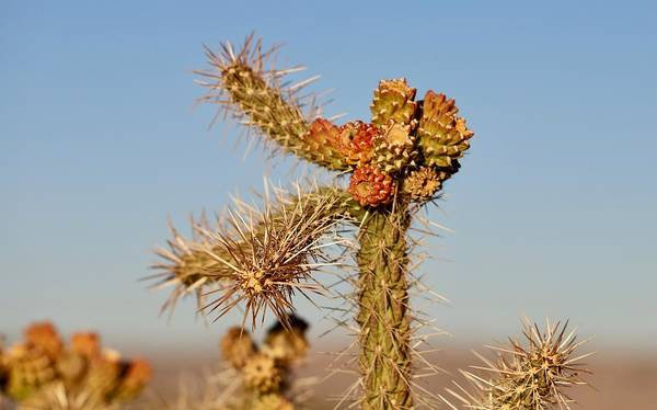 Photograph - Cholla by Sagittarius Viking