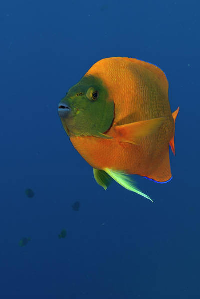 Clarion Wall Art - Photograph - Clarion Angelfish by Luis Javier Sandoval