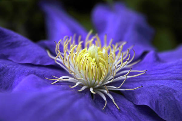 Photograph - Clematis by Jessica Jenney