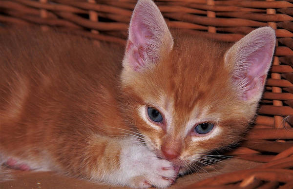 Photograph - Close Up Of A Red Striped Kitten by Eye to Eye Xperience