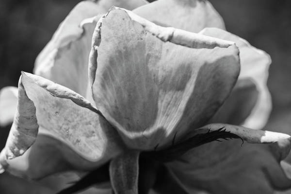 Wall Art - Photograph - Close-up Of A Rose, Los Angeles County by Panoramic Images