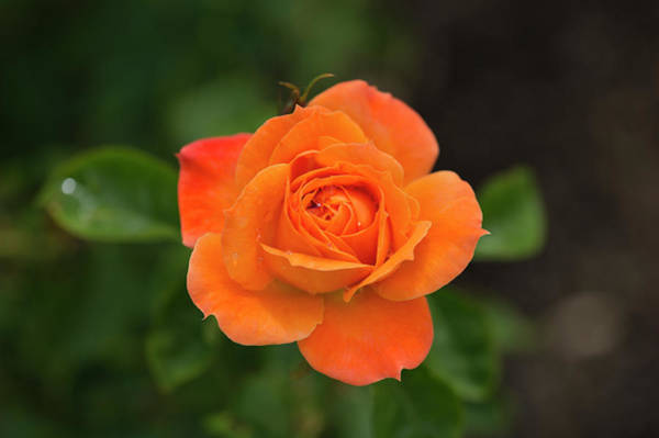 Wall Art - Photograph - Close-up Of An Orange Rose, Los by Panoramic Images