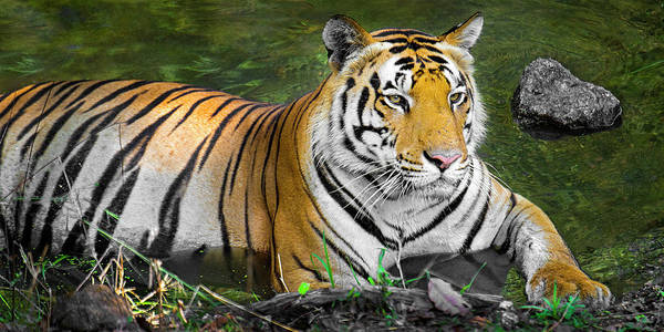Wall Art - Photograph - Close-up Of Bengal Tiger, India by Panoramic Images
