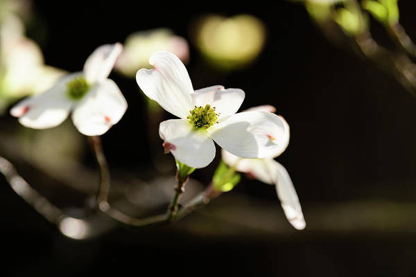 Wall Art - Photograph - Close-up Of Flowering Dogwood Cornus by Panoramic Images