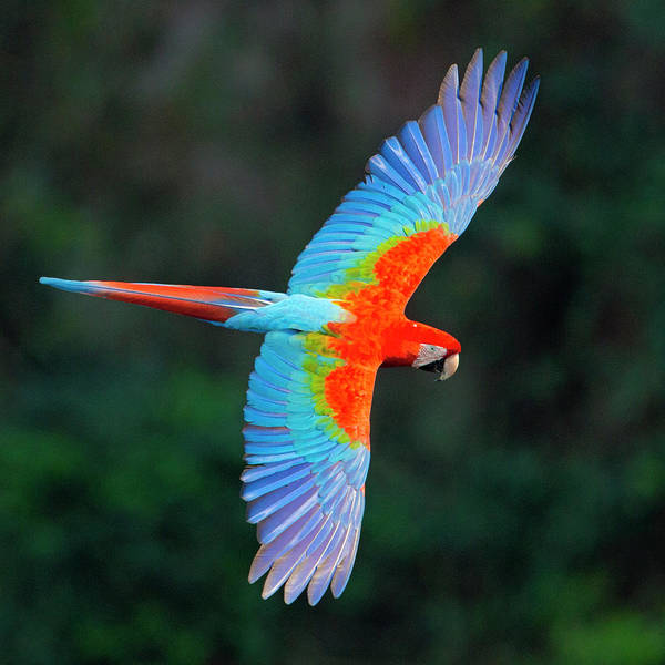 Wall Art - Photograph - Close Up Of Flying Red-and-green Macaw by Panoramic Images