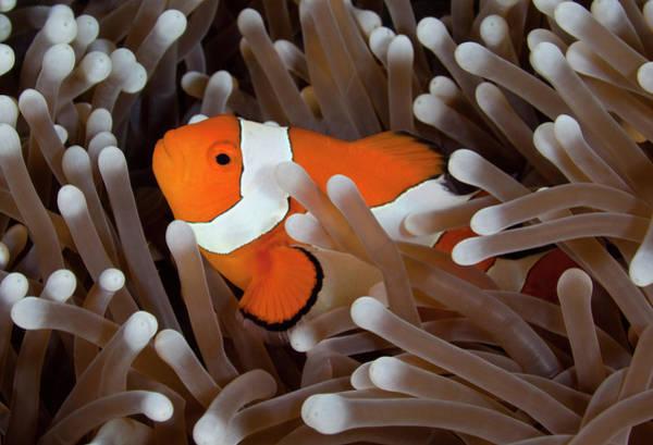 Underwater Photograph - Clownfish by Cdascher