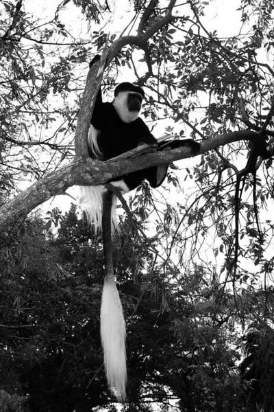 Photograph -  Colobus Monkey by Aidan Moran