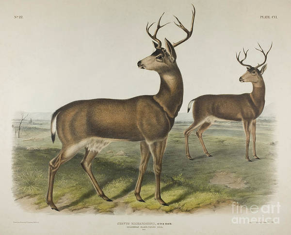Wall Art - Painting - Columbian Black Tailed Deer by John James Audubon
