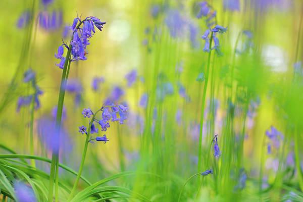 Belgium Photograph - Common Bluebells Hyacinthoides by Frank Krahmer