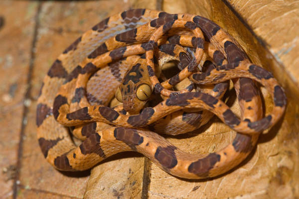 Wall Art - Photograph - Common Blunt-headed Tree Snake by Michael Lustbader