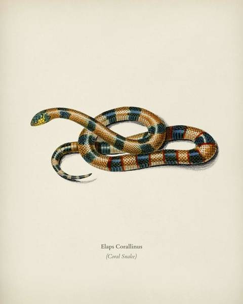 Central Texas Painting - Coral Snake  Elaps Corallinus  Illustrated By Charles Dessalines D Orbigny  1806-1876  2 by Celestial Images