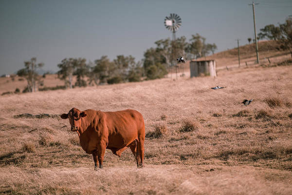 Photograph - Cow And A Windmill In The Country by Rob D Imagery