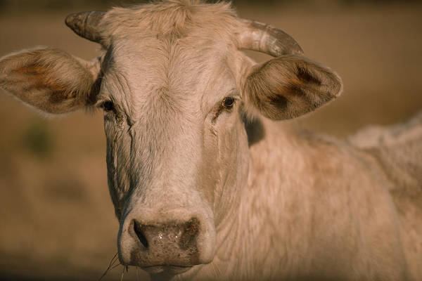 Photograph - Cow Outside In The Paddock by Rob D Imagery