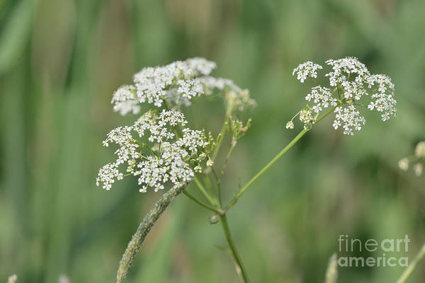 Wild Chervil Wall Art - Photograph - Cow Parsley by Esko Lindell