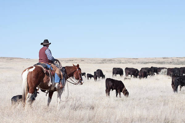Painted Horses Photograph - Cowboy Herding Of Angus Cattle On Open by Daydreamsgirl