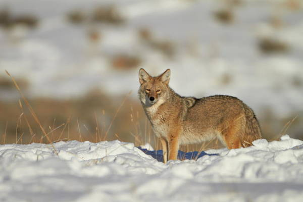 James Brown Photograph - Coyote Canis Latrans In The Snow by James Hager / Robertharding