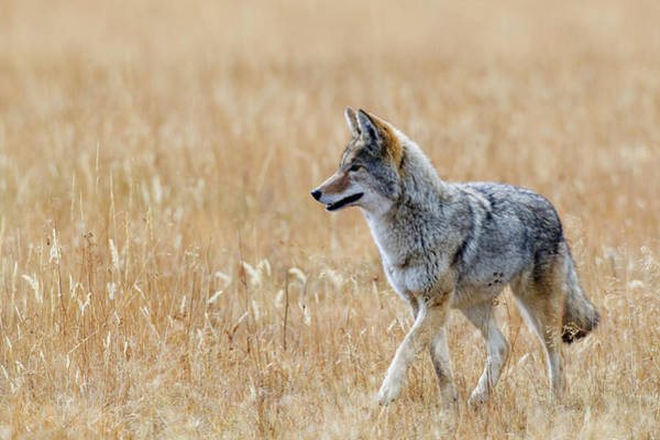 Wall Art - Photograph - Coyote Hunting by Ken Archer