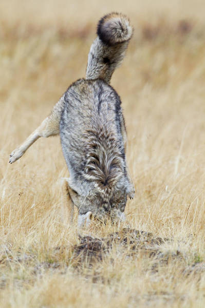 Wall Art - Photograph - Coyote Pouncing by Ken Archer