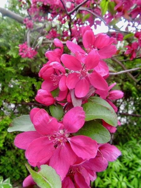 Photograph - Crab Apple Blossoms by Stephanie Moore