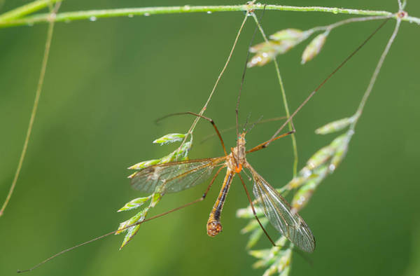 Wall Art - Photograph - Crane Fly by Michael Lustbader