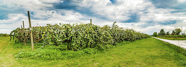 Wall Art - Photograph - Cultivation Of Kiwi In Rows by Gone With The Wind