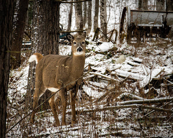 Photograph - Curious Whitetail by William Christiansen