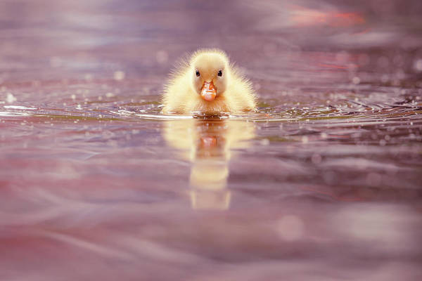 Wall Art - Photograph - Cute Overload Series - Yellow Duckling II by Roeselien Raimond