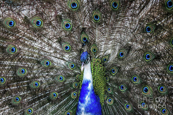 Dancing Peacock Art Print