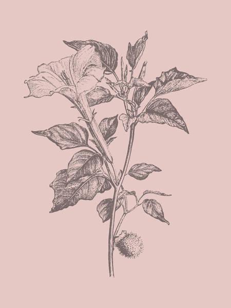 Love Mixed Media - Datura Blush Pink Flower by Naxart Studio