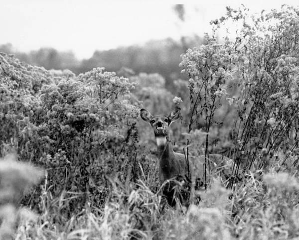 Black Buck Painting - Deer by Celestial Images