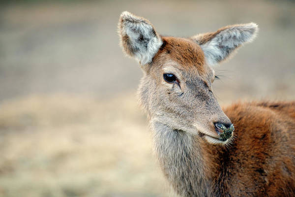 Photograph - Deer by Rob D Imagery