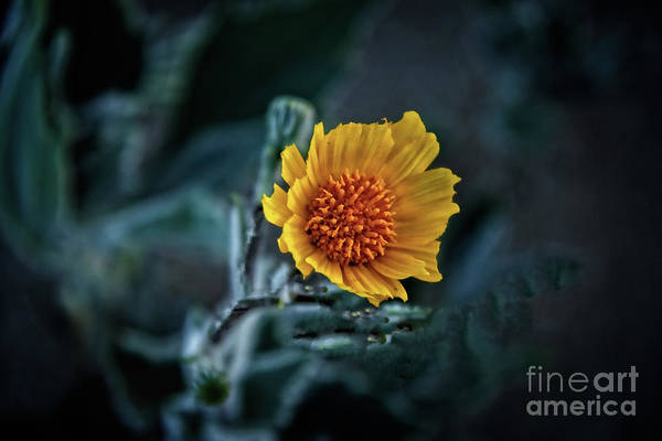 Juxtaposition Photograph - Desert Sunflower by Robert Bales