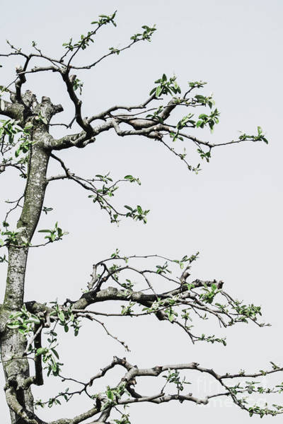 Wall Art - Photograph - Detail Of Pruned Quince Tree by Dan Radi