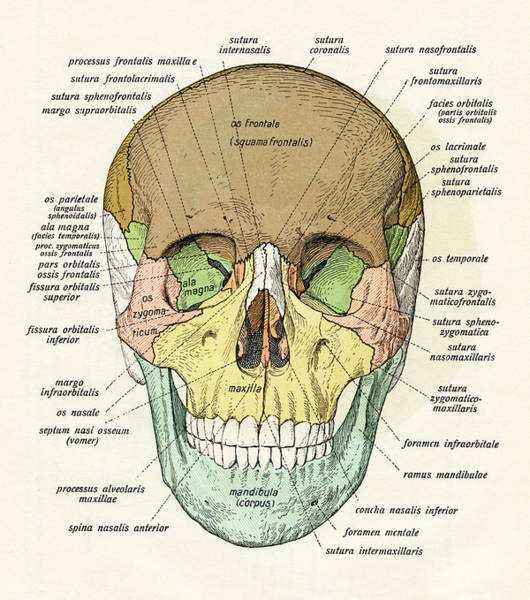 1900 Photograph - Diagram Of Human Skull by Graphicaartis