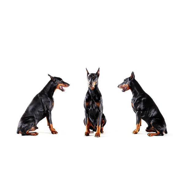 Doberman Wall Art - Photograph - Dobermans Barking At Each Other by Thomas Northcut
