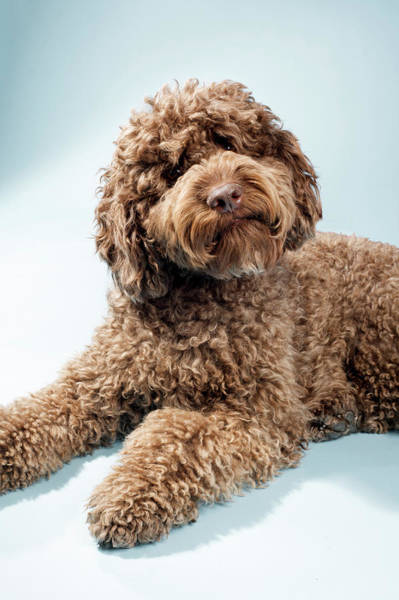 Photograph - Dog Labradoodle by Ragnar Schmuck