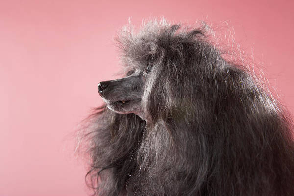 Poodle Photograph - Dog Looking Away by Chris Amaral