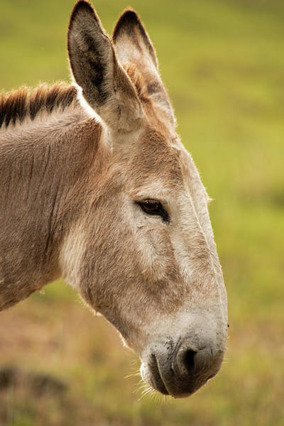 Photograph - Donkey Out In Nature by Rob D Imagery