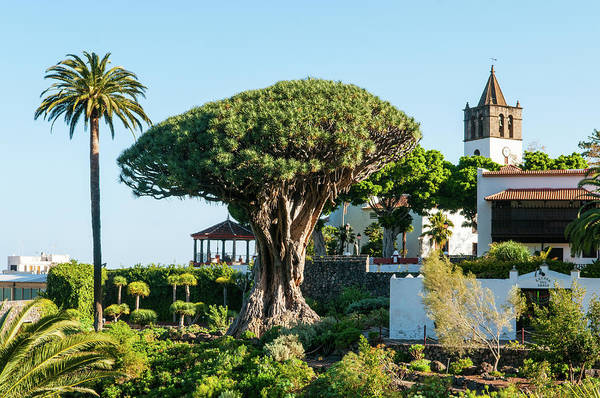 Canary Islands Photograph - Dracaena Draco, The Canary Islands by Chris Hepburn