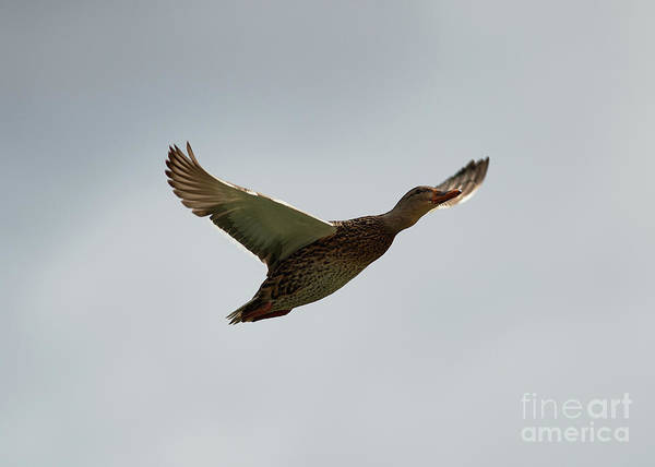 Photograph - Duck In Flight by Robert WK Clark