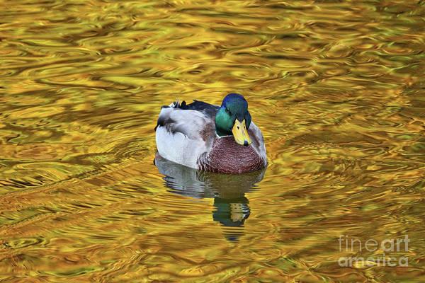 Wall Art - Photograph - Duck On Golden Pond 2 by Carol Groenen