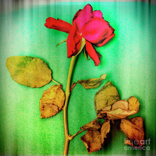 Wall Art - Photograph - Dying Flower Against A Green Background by Bernard Jaubert