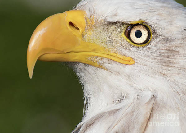 Photograph - Eagle Portrait by Eyeshine Photography